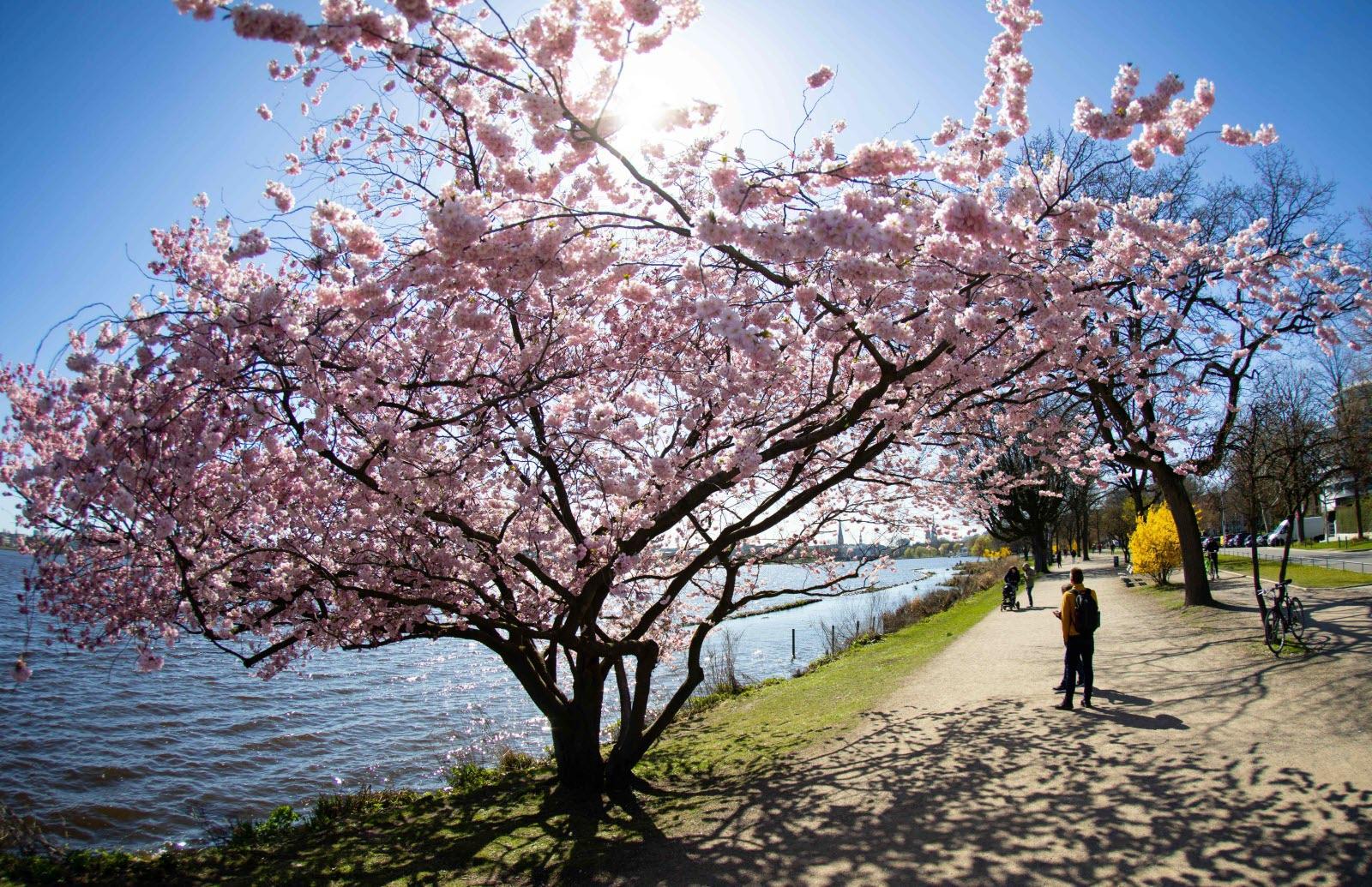 Fleurs de cerisier à Hambourg