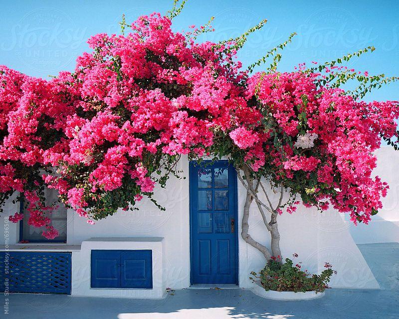 Santorin et ses bougainvilliers roses