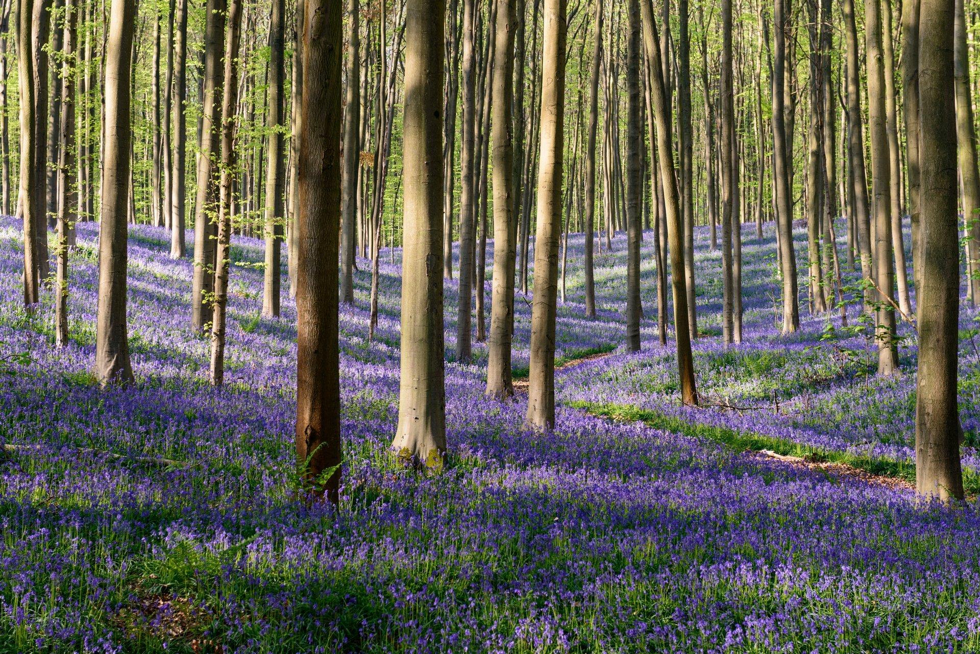forêt de campanules à Hallerbos
