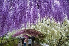 Glycine en Provence